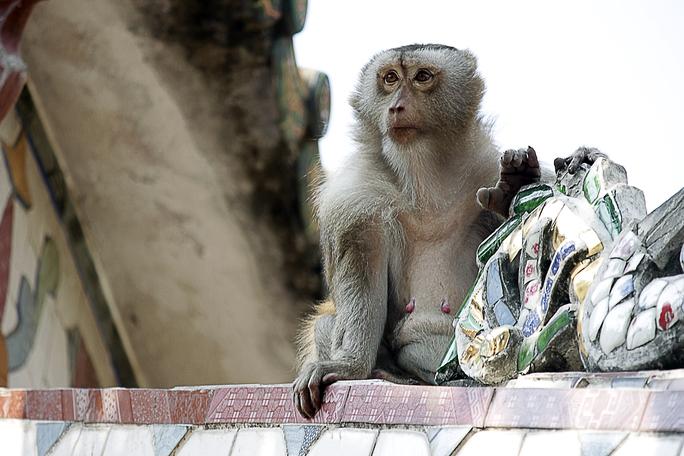 Đàn khỉ sinh sống ở khắp nơi trong ngôi cổ tự.