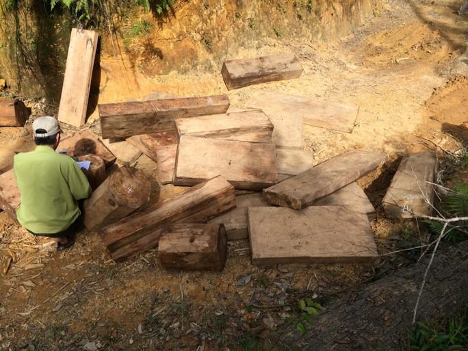 Số gỗ pơ mu mới bị phát hiện