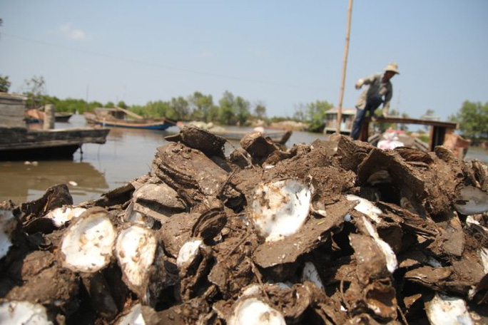 Hàu chết chất đống bên bờ, nông dân thiệt hại ước tính hàng chục tỉ đồng- Ảnh: Mậu Trường