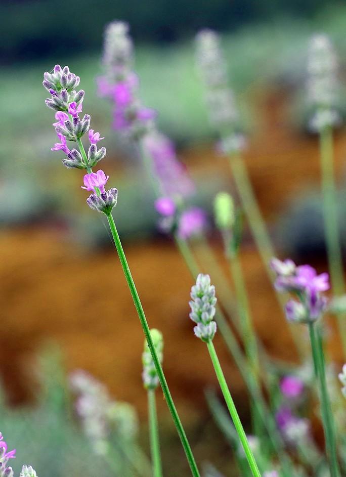 Cận cảnh hoa oải hương