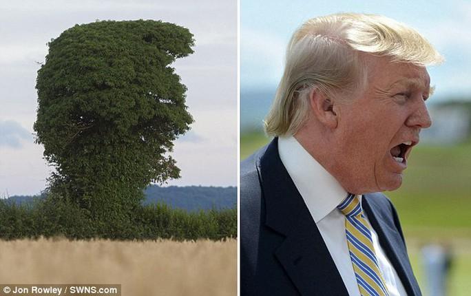 Cây Trump được phát hiện tại Anh. Ảnh: Jon Rowley/SWNS.COM
