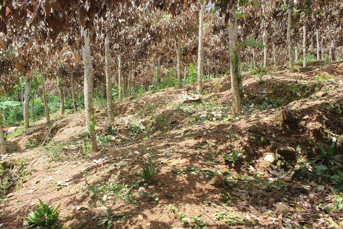 Vườn tiêu của gia đình bà Thanh sắp đến mùa thu hoạch được định giá vào khoảng 100 triệu đồng