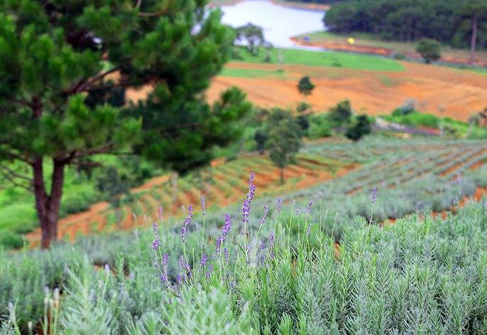 Hoa lavender dưới tán thông Đà Lạt