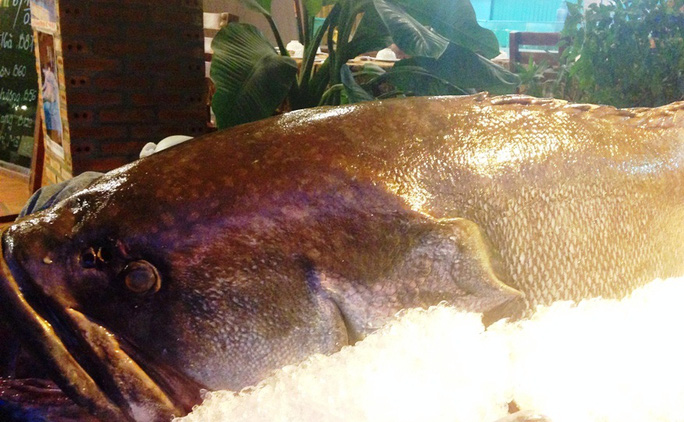 Con cá mú nghệ được ngư dân Khánh Hòa bắt được.