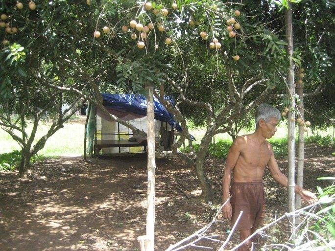 Nhiều hộ dân tỉnh Sóc Trăng phải dựng lều ngoài vườn cây ăn trái để canh trộmẢnh: CÔNG TUẤN