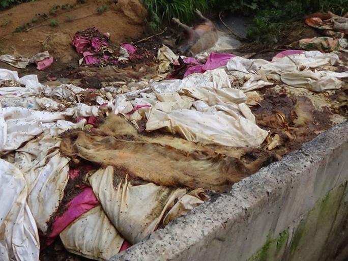 Heo chết bốc mùi hôi thối vứt bừa bãi gần sát bờ sông Sài Gòn ẢNH: PHƯỚC HIỆP