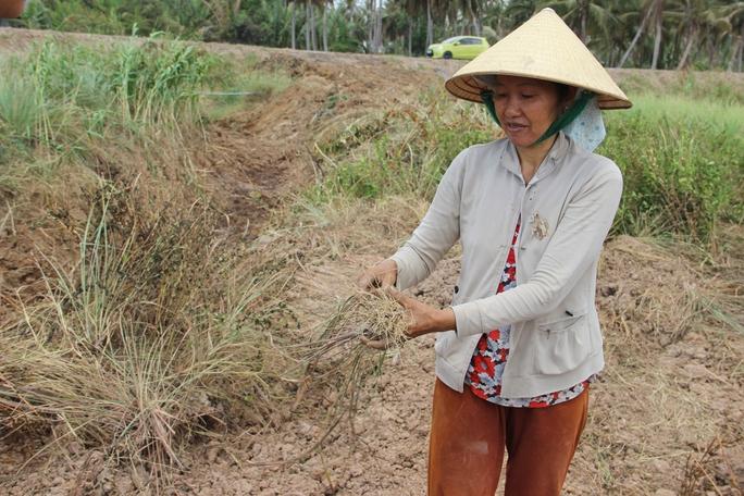 Hạn nặng, rẫy sả của nông dân Tiền Giang chết hàng loạt Ảnh: Lê PhoNG