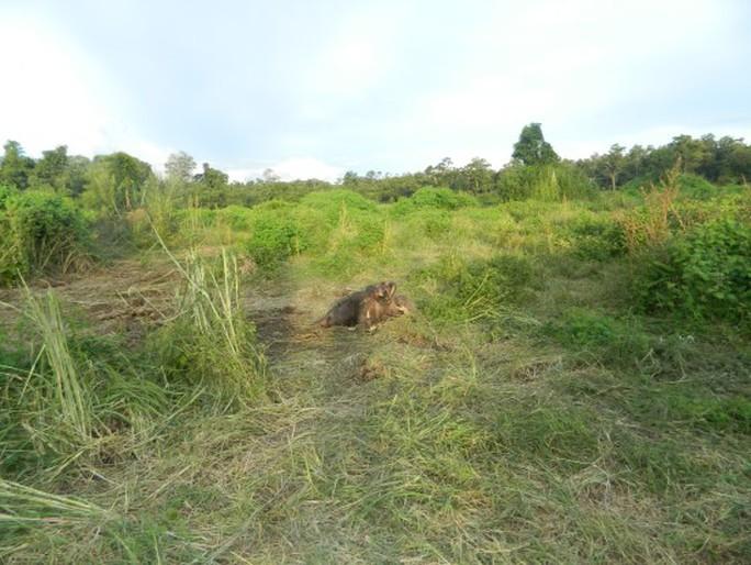 Hiện trường nơi voi rừng được cho là bị voi đực húc chết. Ảnh cơ quan chức năng cung cấp
