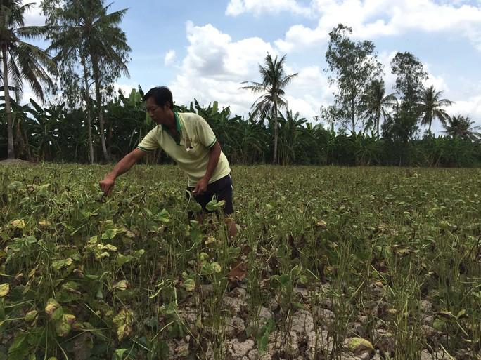 Đậu xanh phát triển tốt trên đất khô cằn, giúp nông dân hái ra tiền vào mùa hạn hán khốc liệt