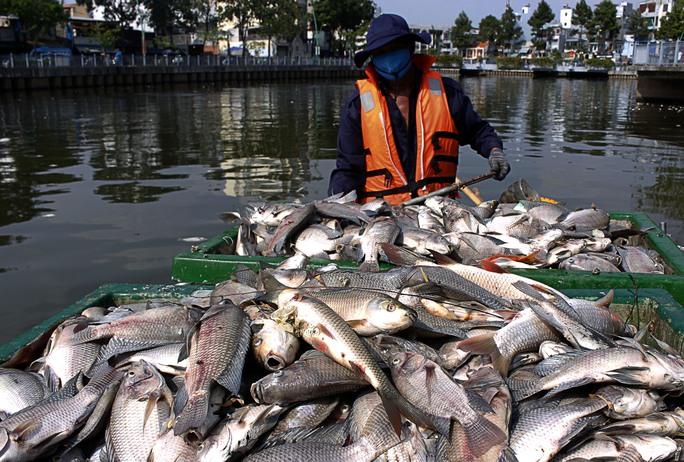 Những ca nô chất đầy xác cá . Theo những công nhân cơn mưa chiều qua, khiến cá tiếp tục chết nhiều hơn.