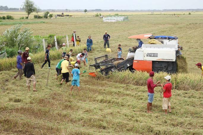 Hàng chục người dân từ già đến trẻ rải rơm và đứng xung quanh thửa lúa còn sót lại để chuẩn bị bắt chuột