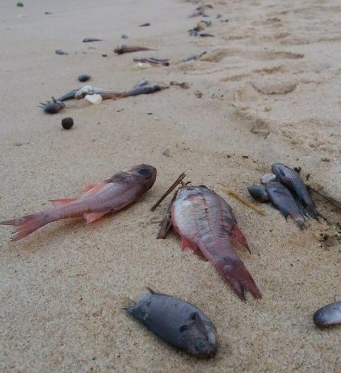 Cá chết hàng loạt được phát hiện tại bờ biển Quảng Bình Ảnh: Hoàng Phúc