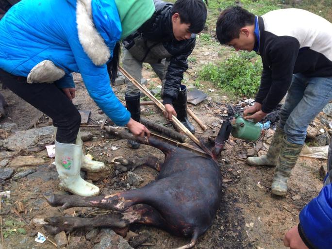 Nông dân xẻ thịt nghé bị chết rét để bán trên quốc lộ 4D ở huyện Bát Xát (tỉnh Lào Cai) - Ảnh: Nguyễn Phan