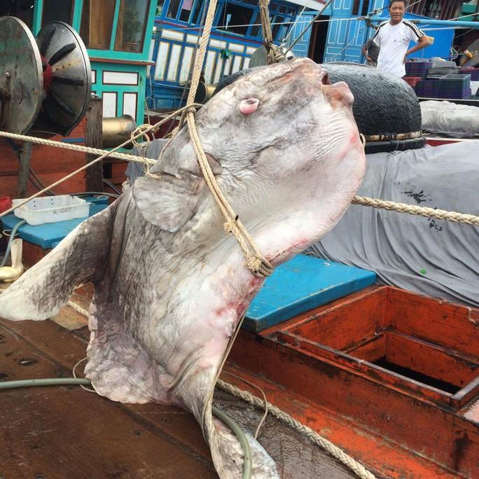 Cá mặt trăng khủng vướng lưới của ngư dân Đào Văn Huân
