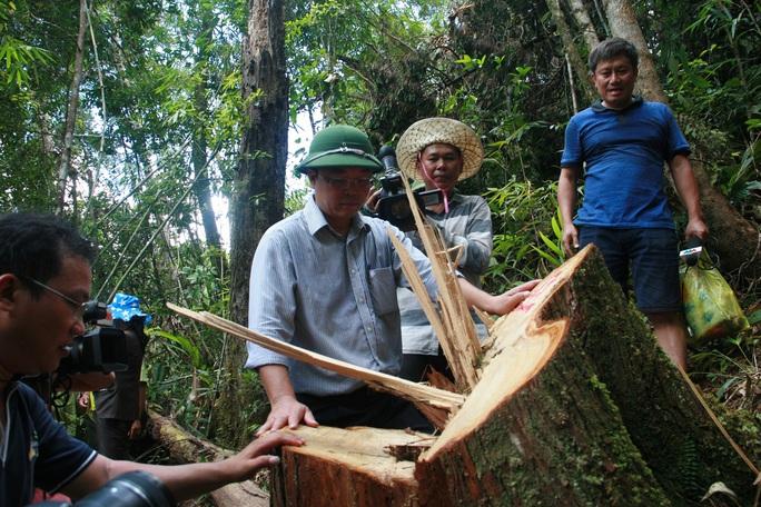 Ông Lê Trí Thanh kiểm tra hiện trường vụ phá rừng pơ mu