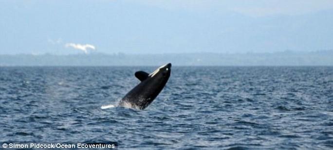 Một con ca voi sát thủ thông thường có tuổi thọ 60-80 tuổi. Ảnh: Ocean Ecoventures