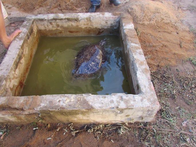 Rùa biển quý hiếm nặng khoảng 40kg đang được chăm sóc để thả về tự nhiên
