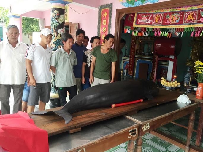 Cá voi lụy bờ tại xã Nhơn Hải, TP Qui Nhơn