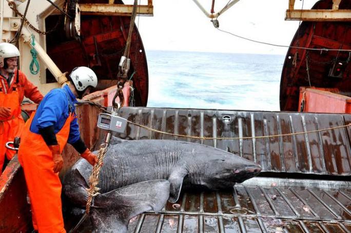 Một con cá cái đang được nhóm nghiên cứu khảo sát trên tàu Pamiut, Tây Nam Greenland. Ảnh REUTERS