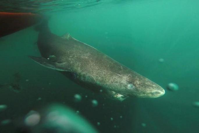 Cá mập Greenland được xem là động vật có xương sống thọ nhất hành tinh. Ảnh REUTERS