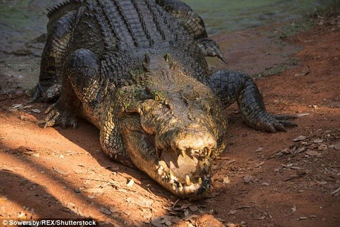 Chính quyền vịnh Kupang - Indonesia dự định mở cuộc thi bắt cá sấu. Ảnh: Daily Mail