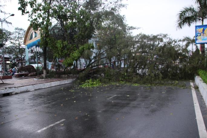 Cây dương cổ thụ cao hàng chục mét ngã chắn ngang con đường lớn nhất TP Cà Mau
