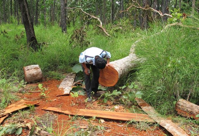 Cả những cây gỗ nhỏ trong Vườn Quốc gia Yók Đôn cũng bị đốn hạ Ảnh: Cao Nguyên