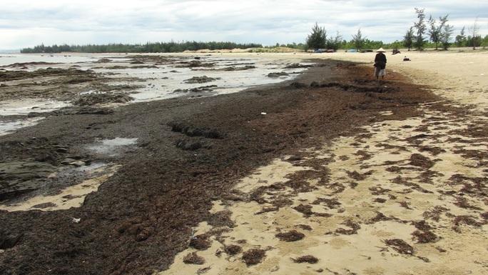 Rong biển trôi dạt vào dọc bờ biển Quảng Bình là hiện tượng tự nhiên