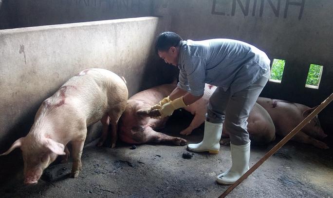 Nhiều con heo nhốt tại lò giết mổ gia súc của Công ty Hải Dương bị nghi nhiễm bệnh lở mồm long móng