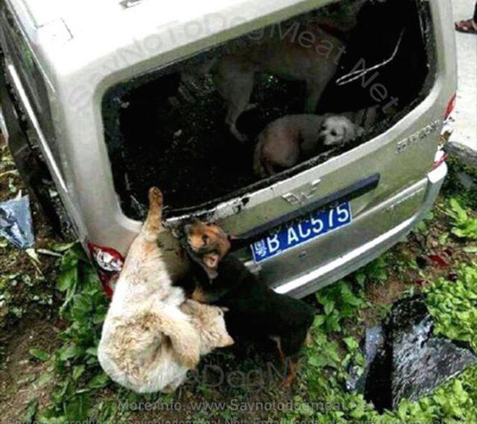 Nhiều con chó bị bắt, trói trên xe của tên này. Ảnh: Saynotodogmeat