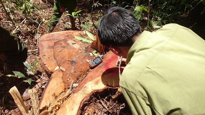 Lực lượng chức năng tiến hành kiểm đếm những cây gỗ dỗi lớn thuộc nhóm 2 bị lâm tặc triệt hạ thuộc Tiểu khu 390 xã Lộc Bắc, huyện Bảo Lâm, tỉnh Lâm Đồng.
