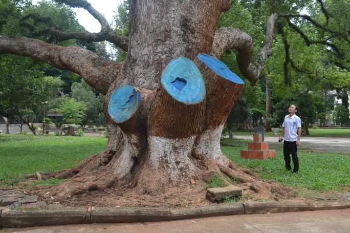 Ba nhánh chính của cây long não bị cưa vì sâu bệnh