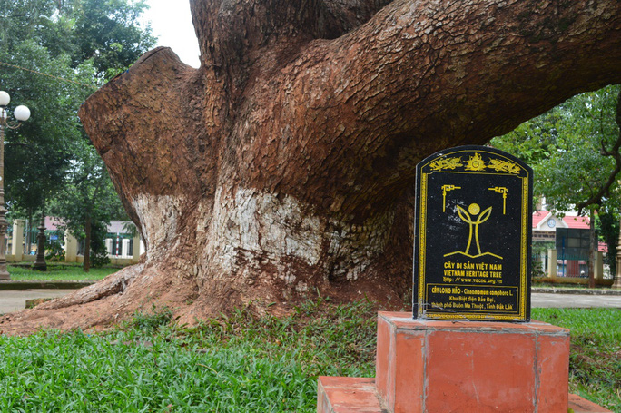 Cây long não đã được công nhận là cây di sản Việt Nam từ tháng 12-2014