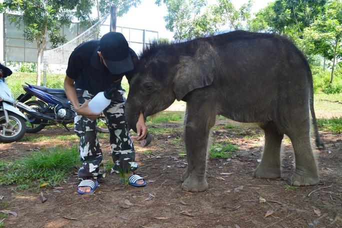 Gold được chăm sóc theo chế độ của các chuyên gia về voi, nước uống được lấy từ nước lọc đóng bình rồi đun sôi. Hiện chú chủ yếu uống sửa (theo giờ giấc quy định) và ăn một số loại trái cây mền