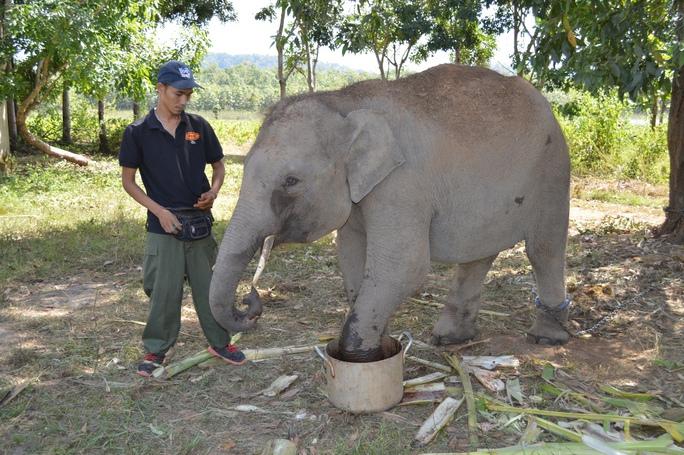 Hơn 1 năm trước, June được phát hiện trong rừng với một chiếc bẫy cùm của thợ săn ở chân trái phái trước. Sau nhiều ngày cùng với sự hỗ trợ của voi nhà, June được đưa về trung tâm để điều trị vết thương đã ở chân và ở vòi do June dùng voi gỡ bẫy