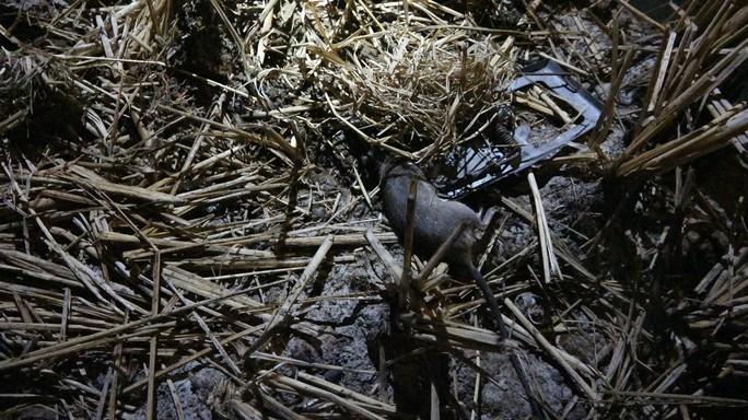 Một con chuột đồng bị dính bẫy