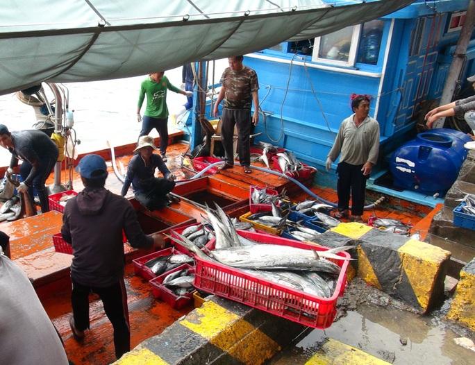 Tàu cá tấp nập vào cảng Hòn Rớ. Ngư dân Phan Bảy, chủ một tàu cá xa bờ khác ở xã Phước Đồng, TP Nha Trang lạc quan cho biết: Mặc dù đi đánh bắt vào dịp Tết, xa gia đình, vợ con nhưng việc trúng đậm cá ngừ khiến ngư dân trên tàu ai cũng phấn khởi.