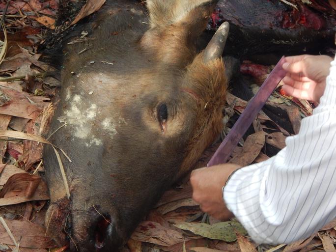 Con bò tót bị bắn chết cách đây hơn 2 tuần, bị róc hết thịt chỉ còn lại xương và đầu