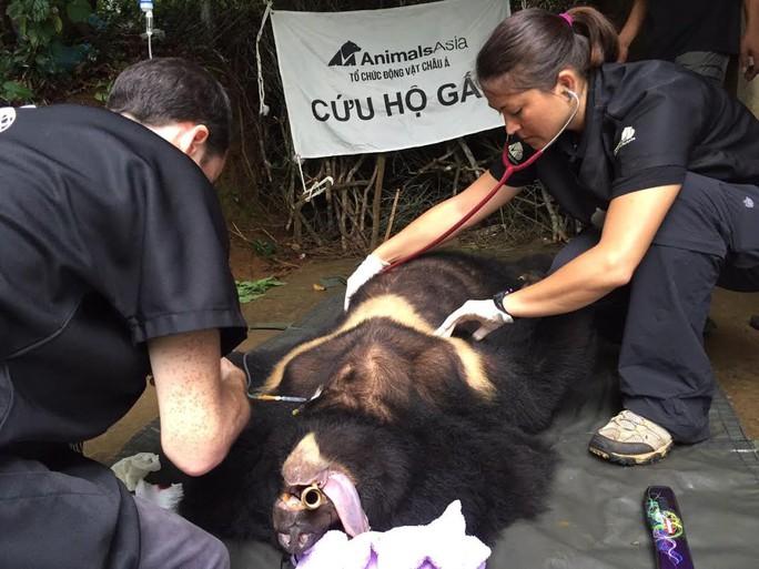 Đội Cứu hộ đang kiểm tra sức khỏe của gấu ngựa Bảo Lâm