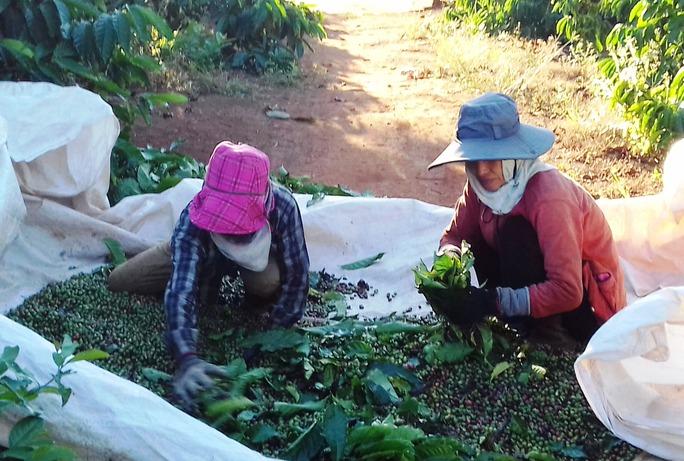 Người trồng cà phê ở Gia Lai lo âu vì giá loại hạt này giảm sâu Ảnh: HOÀNG THANH