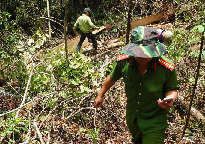 Công an điều tra vụ phá rừng pơ mu trăm tuổi