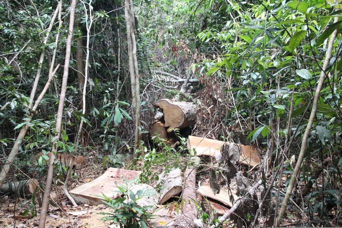 Hàng trăm phách gỗ dổ thuộc nhóm 2 lực lượng chức năng phát hiện tại tiểu khu 390A, Lộc Bắc, Bảo Lâm.
