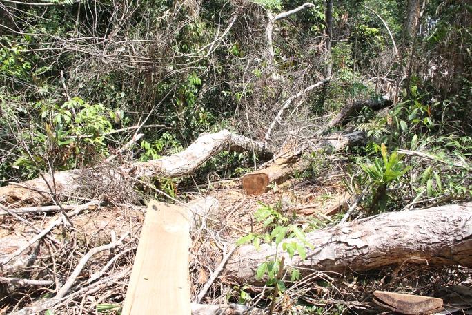 Những thân gỗ dổi thuộc nhóm 2 nằm la liệt tại tiểu khu 390, Lộc Bắc.
