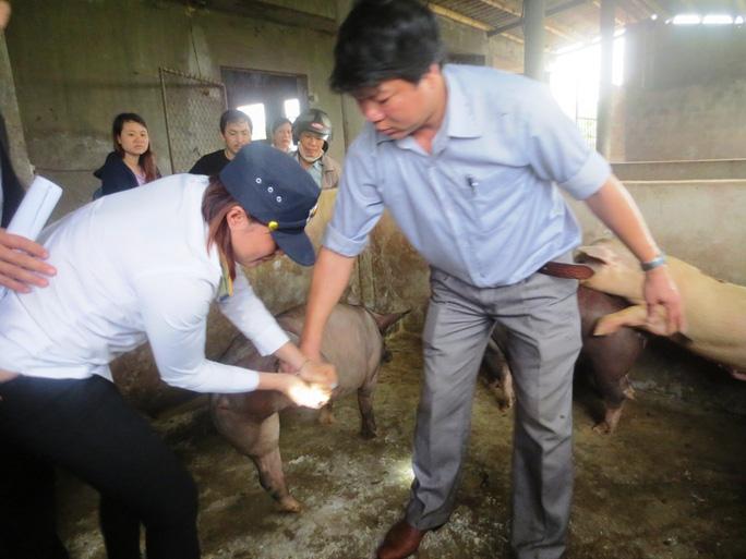 Các cơ quan chức năng kiểm tra số heo được nuôi nhốt tại lò Hải Dương