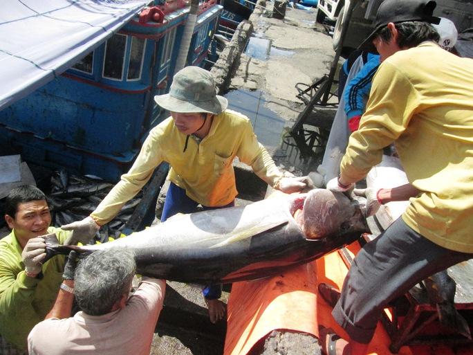 Không chỉ cá ngừ sọc dưa, cá ngừ đại dương cũng thu hoạch được, trung bình một tàu thu khoảng 1,5 -2 tấn. Giá cá ở mức 95.000 - 98.000 đồng/kg nên các tàu bao Tết đều có lãi
