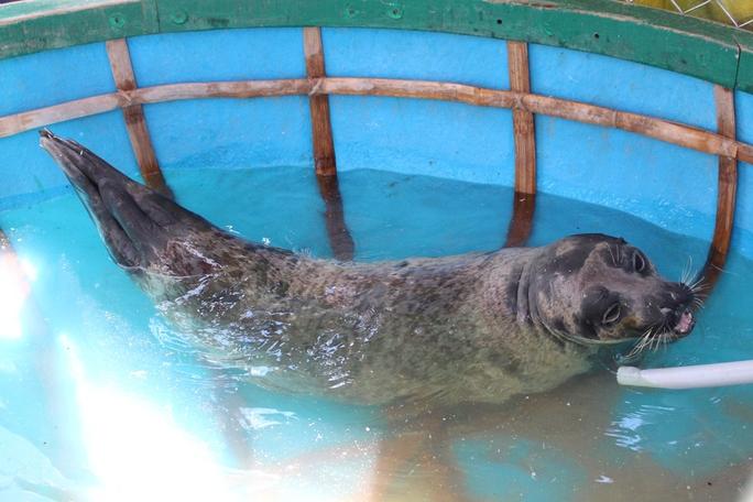 Con hải cẩu này được anh Thảo nuôi trong chiếc thuyền thúng chờ bàn giao