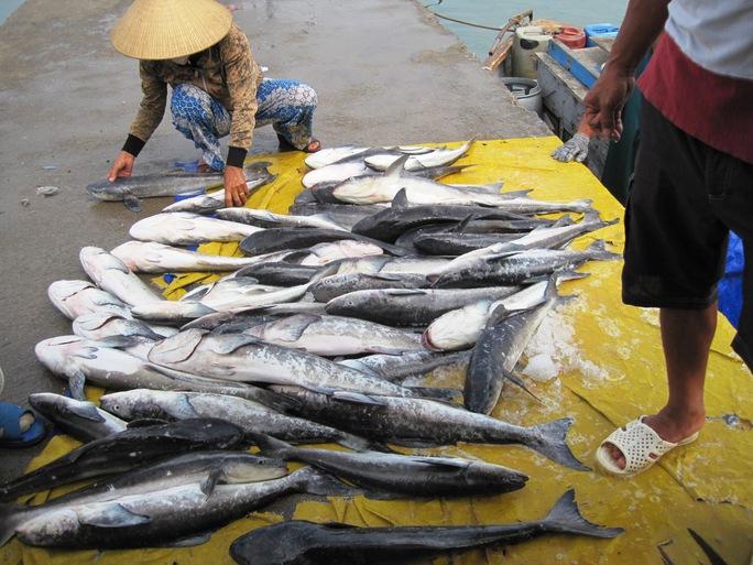Các lồng bè nuôi cá bớp ở Hòn Thị, Vĩnh Lương, Nha Trang, Khánh Hòa - ảnh H.N.D