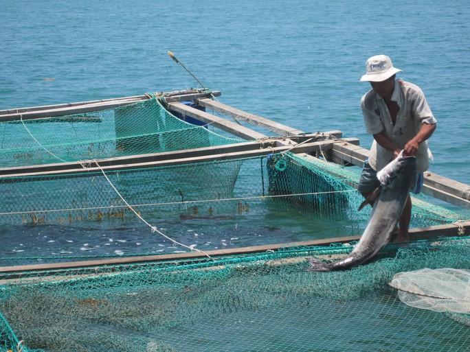 Ngư dân kéo cá bớp lên bờ