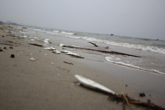 Cá chết lại tiếp tục trôi dạt vào bờ biển Đà Nẵng