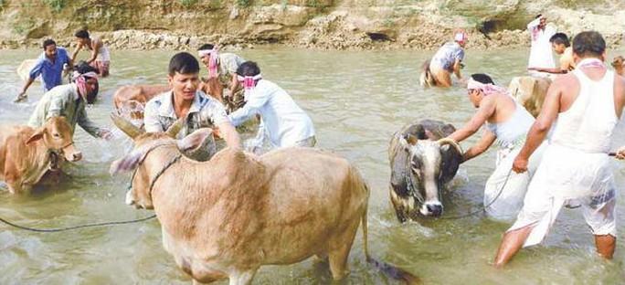 Gia súc được tắm rửa trong dịp lễ Bohag Bihu. Ảnh: assaminfo.com